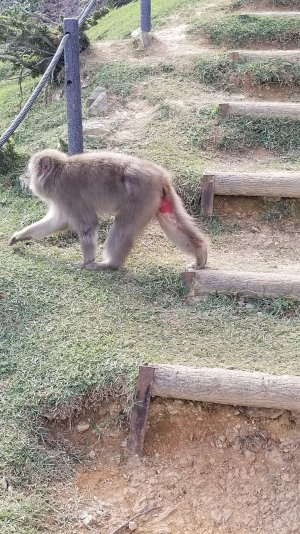 MACAQUE-MONKEY-NEAR-STAIRWELL